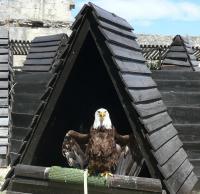 les-aigles-de-beaucaire-1-chaput