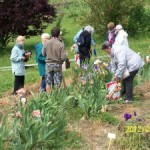 Visite d'une iriseraie à Laplume