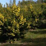 La vie en jaune à La Celle… sur la route du mimosa